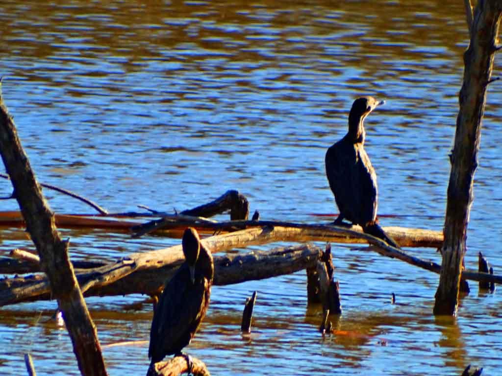 Bosque- Cormorants