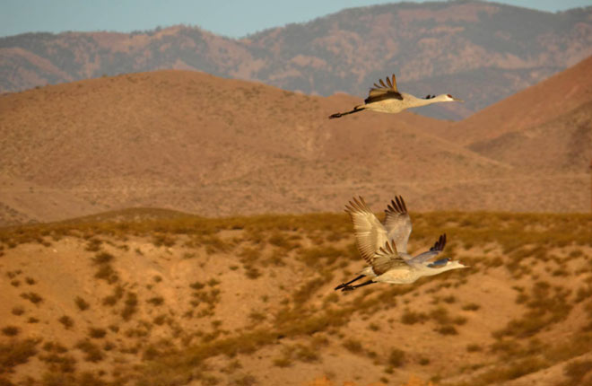 Sand Hill Cranes on the wing