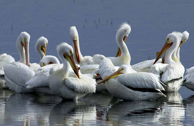 Pelicans at Bosque del Apache