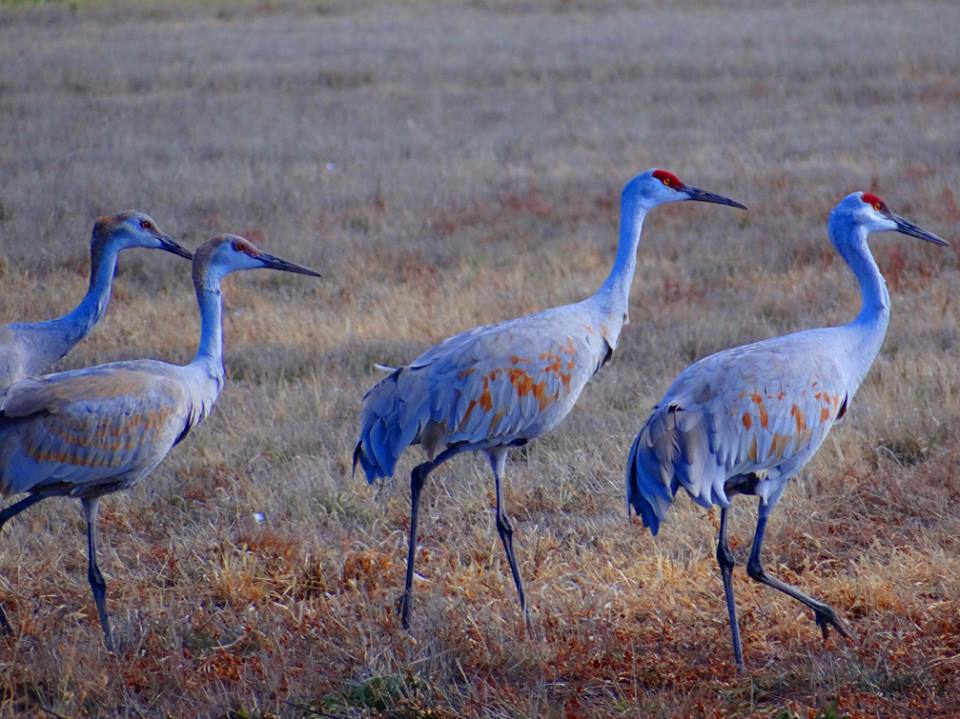 Bernardo Waterfowl-Family of Cranes