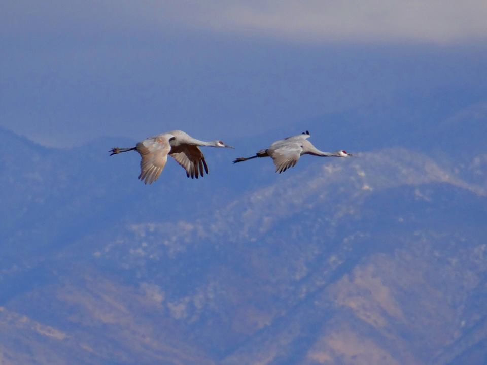Bernardo Waterfowl-Flying Cranes